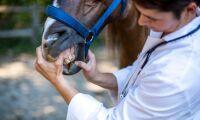 Så ska kunskapen om hästtandvård öka