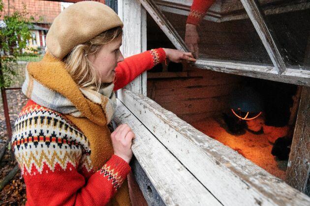 Sofia tittar in efter ägg i hönornas rede i ladan.