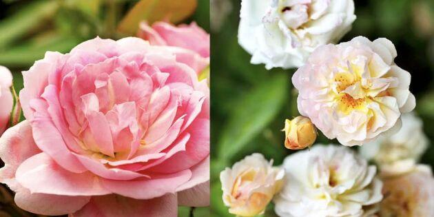 6 tips för en lyckad rosenträdgård