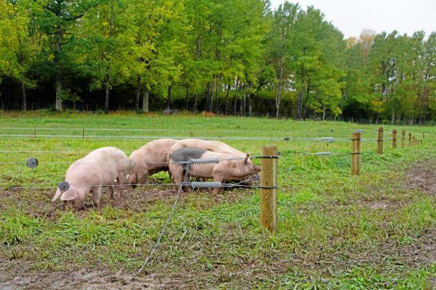 Grisarna i det nya stallet kommer året runt att ha tillgång till en beteshage. Totalt finns 36 tårtbitar på sammanlagt 8 hektar. Efter utslaktning sker omsådd.