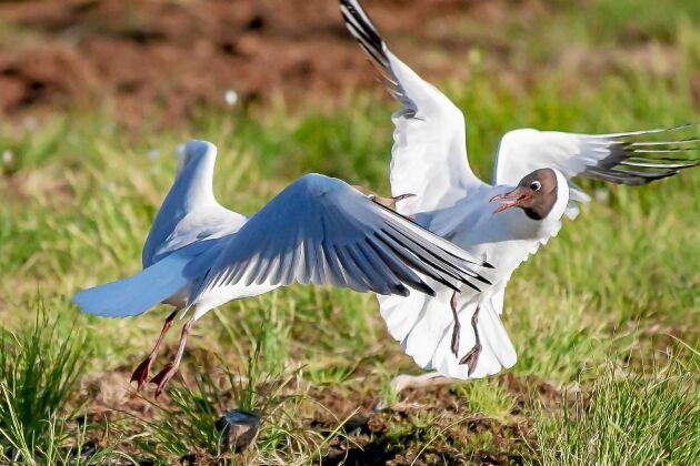 Skrattmåsar och andra fåglar härstammar från små dinosaurier. Utvecklingen av de fantastiska vingarna har gjort dem klumpigare på marken.