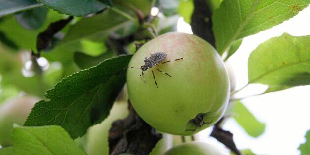 Fruktad bärfis hittad i Sverige – äppelodlingar i fara