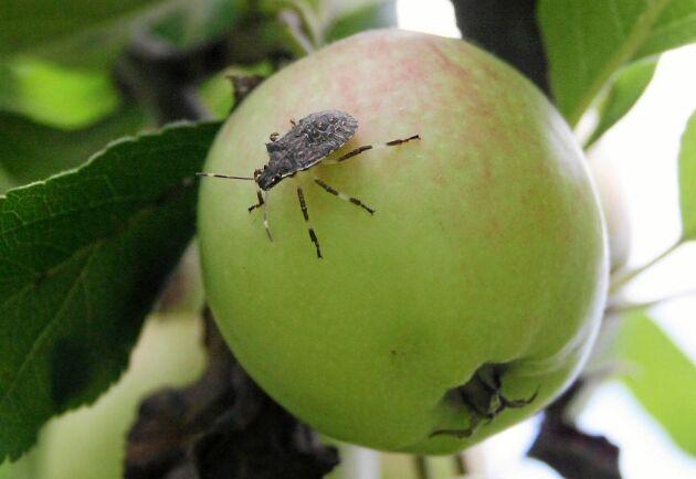 Än har den oönskade bärfisen inte sugit saften ur just detta äpple. Denna skadeinsekt har nyligen upptäckts i Sverige.