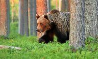 Spillningen avslöjar björnstammens storlek