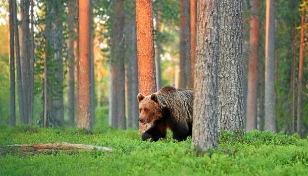 Hur stor är den svenska björnstammen? Spillningsanalyserna ska hjälpa till med inventeringen.