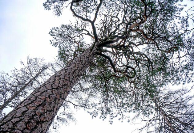 450 hektar urskog brändes av under branden 1999 och naturen fick börja om från början. Levande tallar står sida vid sida med döende träd.