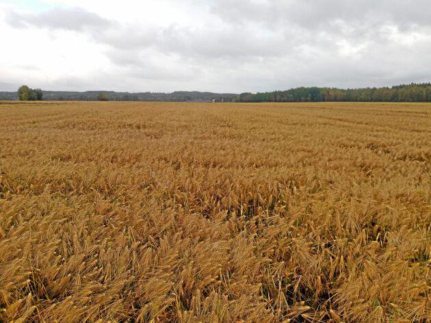 Kornet såg ovanligt bra ut i år hos mjölkproducenten Alfred Olofsson i Ersmark men det står fortfarande kvar i fält på grund av allt regnande.