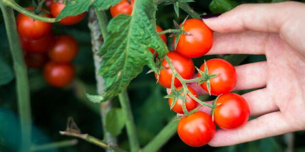 Beskär dina tomater på bästa sätt – 5 tips