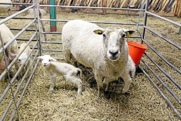 Under november kommer 80 tackor på gården i Ervalla att lamma, här ser vi tre som redan har fötts.