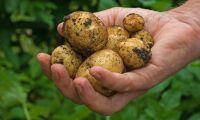 Katastrofdålig potatisskörd på Irland