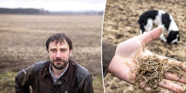 Snöfattig vinter tog knäcken på höstvetet