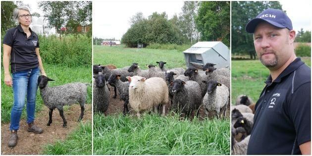 Satsar på lamm – utökar och dubblerar antalet djur