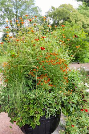 En kaxig kruka med Linnétagetes och kryddtagetesen 'Red Gem' samplanterad med olika gräs, chokladskära och den asiatiska växten shiso.
