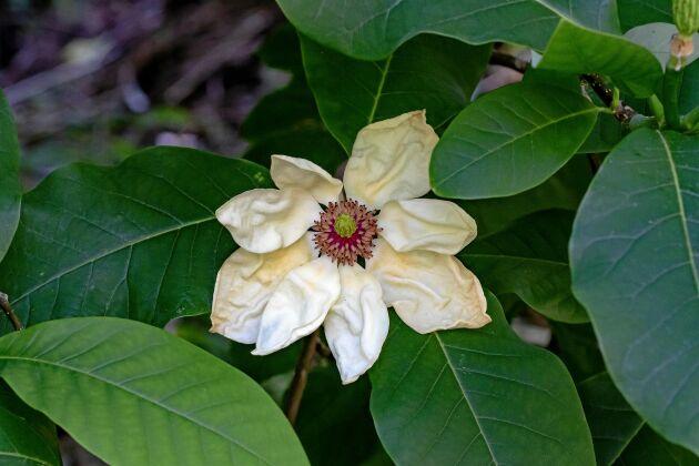 Engelsk magnolia 'Charles Coates' med karakteristiskt skrynkliga blomblad.