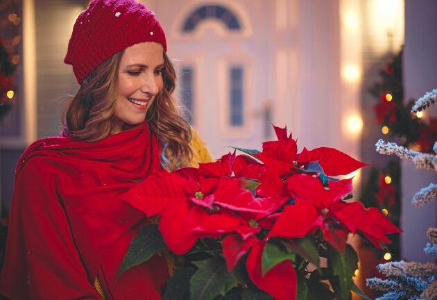 Flina lagom. När julstjärnan kommer in är den förmodligen skadad av kylan.