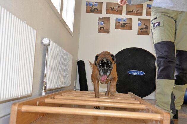 I kavaletti tränar hunden både rörlighet i sina leder och balans/koordination.