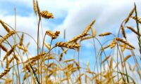 Låg spannmålsproduktion slår mot EU:s export