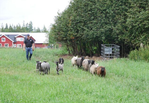 Marcus Gustavsson lägger som vikt vid att ha ett bra bete till sina djur och roterar var tredje dag.