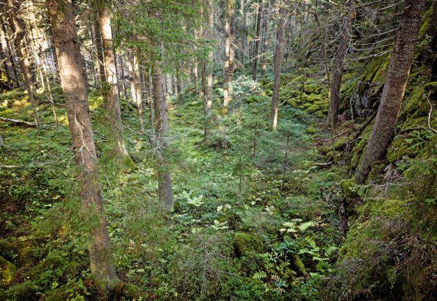 För att kompensera brist på skyddsvärd skog på den egna fastigheten ska FSC-intresserade medlemmar i skogsägarföreningen Metsälliito kunna köpa in sig i skyddsvärd skog som köps in centralt.