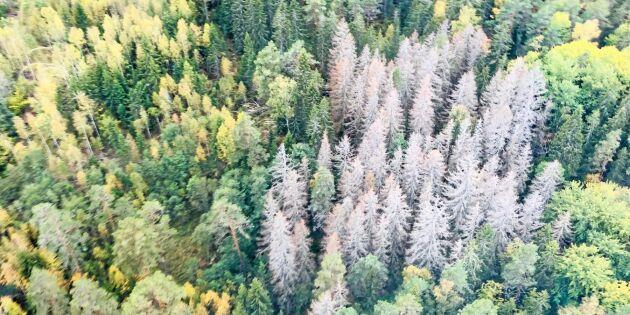 Minskad avverkning trots barkborreangrepp