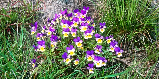 Styvmorsviol – därför heter den som den heter