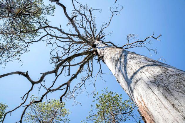 Stående och liggande torrakor finns i resterna av gammal skog på bergstoppar.