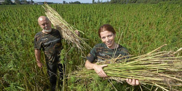 Robert och Jeanette odlar miljövänligt byggmaterial – hampa!