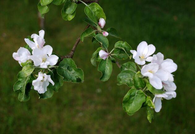 Äppelträden har börjat blomma på flera håll runt Skåne. Arkivbild.