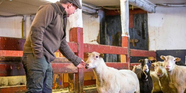 Teaser ser till att tackorna lammar tätt