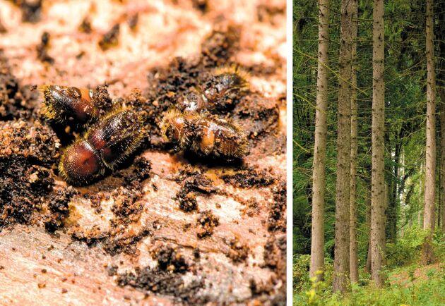Skogsstyrelsen har satt in en mängd åtgärder för att förhindra att granbarkborren sprider sig, skriver Kerstin Ström, projektledare Stoppa borrarna.