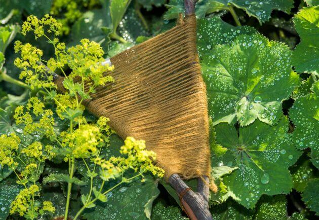 Jättedaggkåpa, en älskad perenn som frösår sig vilt med risk att tränga bort annan växtlighet. Arkivbild.