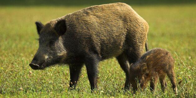 Första fallet av svinpest i Ungern