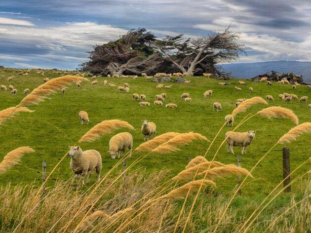 Svenskt lammkötts andel i handeln minskar, ofta till förmån för kött från Nya Zeeland (bilden).