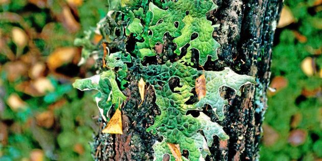 Städning av skog används för att slippa nyckelbiotoper