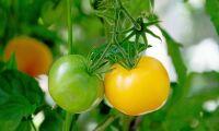 Inga patent på konventionellt förädlade grödor