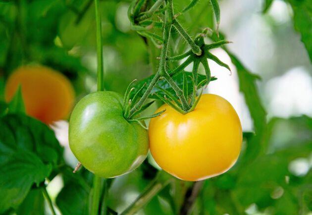 Europeiska patentbyrån gav 2015 patent till en tomat, inte den på bilden, som förädlats för lägre vattenhalt.