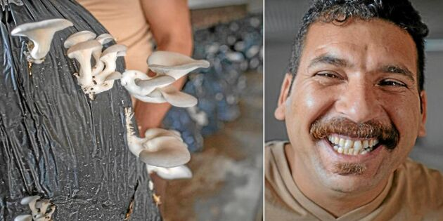 Almahdi flydde kriget –nu gör han succé med sin svampodling