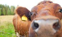 Hälften av Västerbottens mjölkbönder har slutat