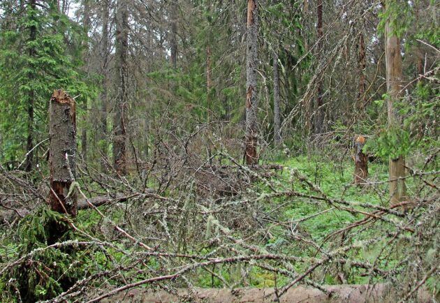 Vindfällen och stående träd är angripna av granbarkborren.
