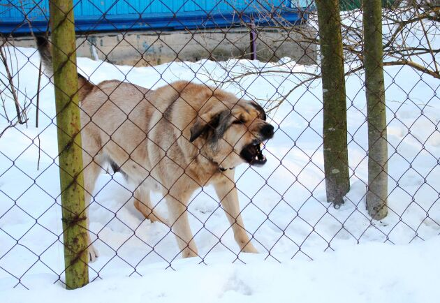 Hundar och stängsel är två åtgärder som ger effekt och är vetenskapligt pålitliga. Arkivbild.