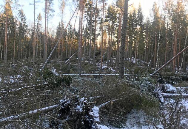 500000 skogskubikmeter skog bedöms ha fällts av stormen Alfrida.