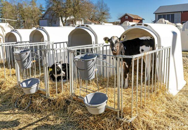 Det nya kalv- och ungdjursstallet med självdragsventilation har inte fungerat som bröderna Larsson tänkt trots att de tog hjälp av rådgivning. Kalvarna alstrar inte tillräckligt mycket värme själva vilket orsakar kallras med hosta och lunginflammationer till följd. Nu har man i stället skaffat kalvhyddor som kalvarna är i till och med cirka tre månaders ålder innan de tas in, vilket har förbättrat kalvhälsan.