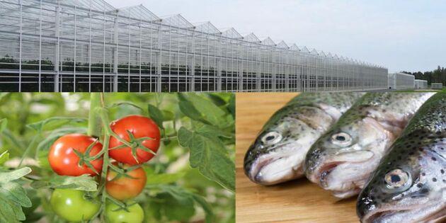 Smart företagsidé: Odla tomater med hjälp av regnbågslax