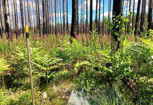 Fyra år efter den stora skogsbranden i Västmanland 2014 har naturen börjat återerövra det drabbade området. Växter som mjölkört, örnbräken, piprör och vårtbjörk har koloniserat den brända marken där många av de sönderbrända stammarna fortfarande står kvar.