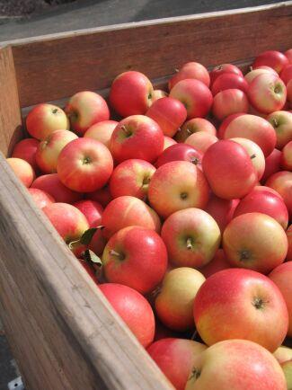 Doften av svenska äpplen slår det mesta!