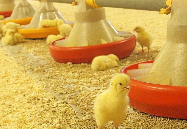 Kycklingarna som föds upp i Bankeberg är av rasen Cobb och har kläckts i skånska Blentarp.