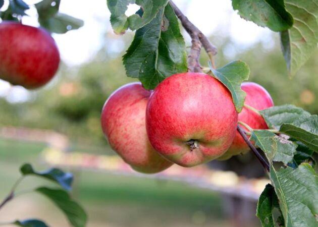Goda äpplen på Kiviks äppelodlingar - blir perfekt som must.