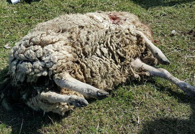 LRF:s begäran om skyddsjakt på varg som rivit får på Molstabergs gård fick avslag av Högsta förvaltningsdomstolen.