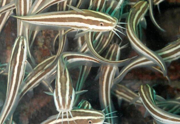 Korallmalen äter ryggradslösa havsdjur och har gifttaggar vid sina fenor.