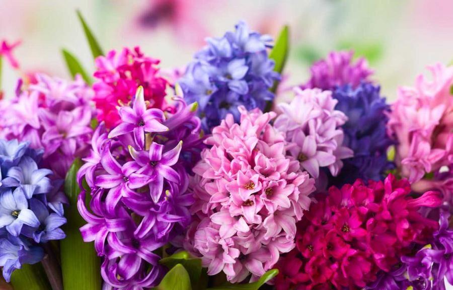 5 tips för att få hyacinten att blomma längre.
